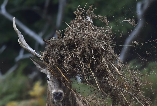 A stag deer covers his antlers with bracken in Richmond Park in west London, Britain, October 16, 2015. (Photo by Toby Melville/Reuters)