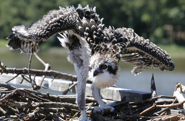 A juvenile osprey looks at surveyors as the prepare to capture him during a tagging and survey operation of the Virginia Aquarium & Marine Science Center on the Lynnhaven River in Virginia Beach, Va., on Friday, June 9, 2017. Ospreys build nests with just about anything: tree branches, stuffed animals, flip flops – even an opossum skull. (Photo by Steve Helber/AP Photo)