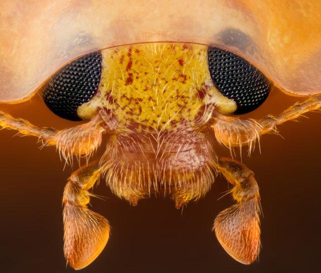 15th Place: Head section of an orange ladybird (Halyzia sedecimguttata). (Photo by Geir Drange/Nikon's Small World 2016)
