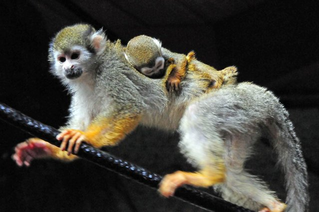 A 6-day-old squirrel monkey holds on to its mother at the zoo in Norfolk, Va. (Photo by Virginia Zoo via AP Photo)