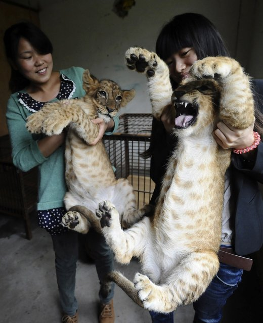 Staff hold lion cubs during a media event at a Zoo in Wuhan, Hubei province, May 29, 2013. The Zoo said tourists could visit the four-month-old cubs starting from International Children's Day on June 1, 2013. (Photo by Reuters/Stringer)