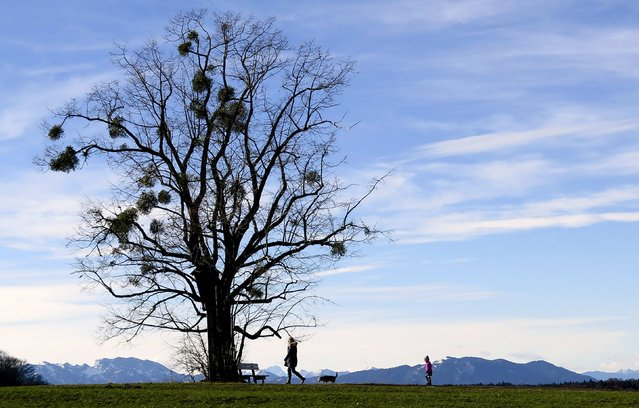 People walk past an ash tree in front of the mountains of the lake Tegernsee during a sunny day in Warngau January 10, 2015. (Photo by Michael Dalder/Reuters)