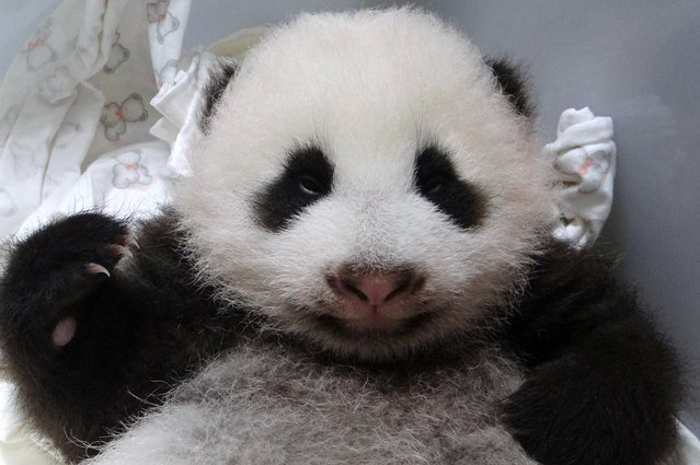 This handout photograph released by Taipei City Zoo on September 11, 2013 shows a panda cub at the Zoo. (Photo by AFP Photo/Getty Images)