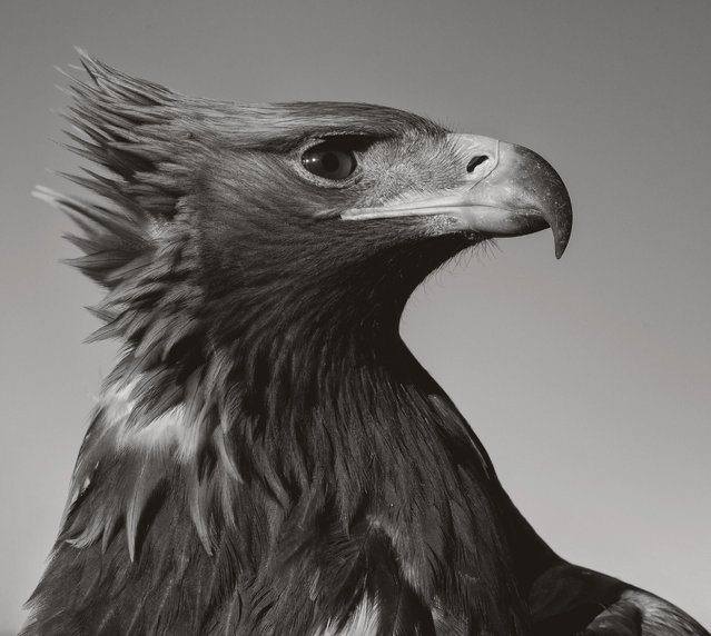 An eagle looks out over the stark landscape looking for it's prey. (Photo by Palani Mohan)