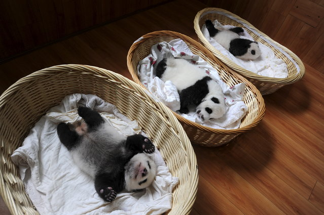Giant panda cubs are seen inside baskets during their debut appearance to visitors at a giant panda breeding centre in Ya'an, Sichuan province, China, August 21, 2015. A total of 10 giant panda cubs that were born in the center this year, aging from one week to two months, met visitors for the first time, local media reported. (Photo by Reuters/Stringer)