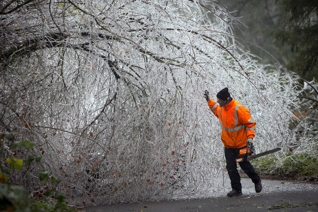 Doug Heer checks out an ice-encrusted tree along Barber Drive in Eugene, Ore., Thursday, December 15, 2016, before cutting it back to make way for traffic to pass. An ice storm in the Willamette Valley caused the downing of hundreds of trees and loss of power to residents in the region. (Photo by Andy Nelson/The Register-Guard via AP Photo)