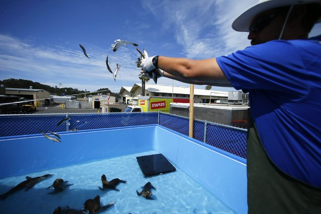 In one of two pools built specifically to deal with rescued sea lions a  SeaWorld, an animal care specialist feeds malnourished sea lions at Sea World in San Diego, California March 17, 2015. (Photo by Mike Blake/Reuters)