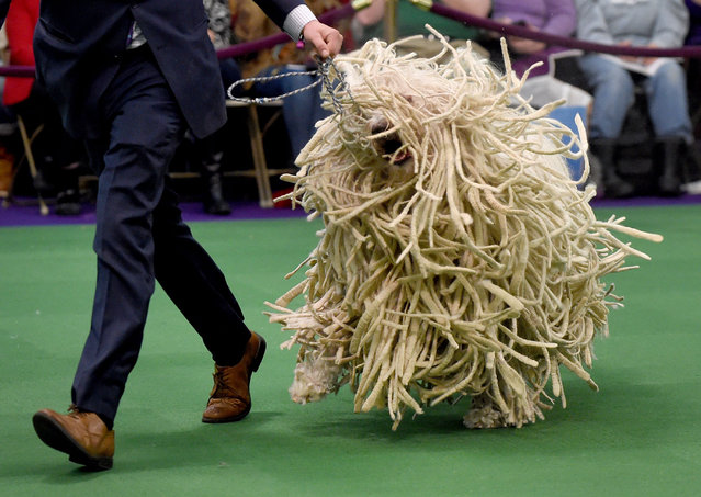 A Komondor is seen in the judging ring February 16, 2016 in New York during Day Two of competition at the Westminster Kennel Club 140th Annual Dog Show. (Photo by Timothy A. Clary/AFP Photo)