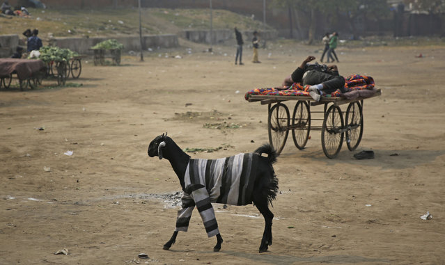 A goat wearing a sweater walks in a field in New Delhi, India, Thursday, January 17, 2019. (Photo by Altaf Qadri/AP Photo)
