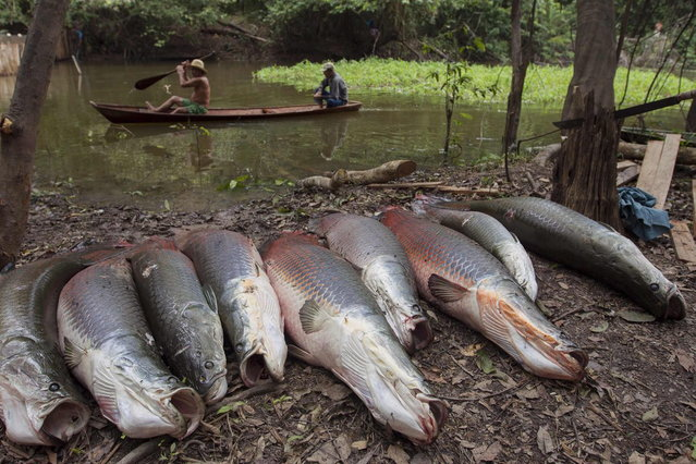 Villagers from the Rumao Island community paddle past a line of arapaima or pirarucu, the largest freshwater fish species in South America and one of the largest in the world, while fishing in a branch of the Solimoes river, one of the main tributaries of the Amazon, in the Mamiraua nature reserve near Fonte Boa, about 600 km (373 miles) west of Manaus, November 24, 2013. (Photo by Bruno Kelly/Reuters)