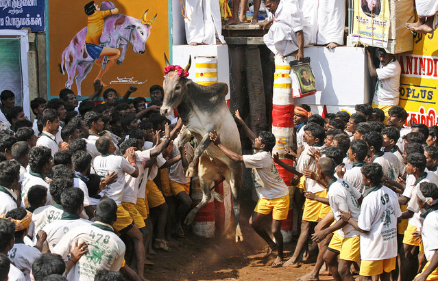 A bull charges out from an enclosure during the bull-taming sport, called Jallikattu, in Alanganallur, about 530 kilometers (331 miles) south of Chennai, India, Wednesday, January 16, 2013. (Photo by Arun Sankar K./AP Photo)