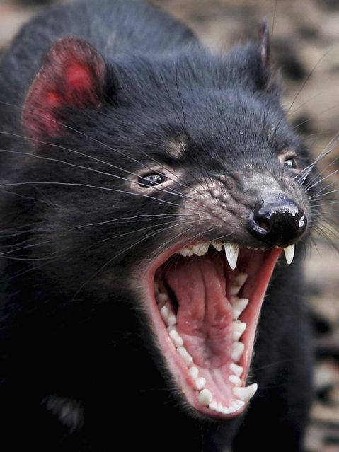 A Tasmanian Devil bears it's teeth at a quarantine facility August 31, 2005 in Hobart, Australia. (Photo by Ian Waldie/Getty Images)