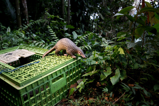 A pangolin climbs out of a cage upon its release into the wild in Sibolangit, North Sumatra, Indonesia, Monday, April 27, 2015. (Photo by Binsar Bakkara/AP Photo)