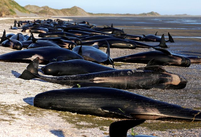 """Some of the hundreds of stranded pilot whales marked with an """"X"""" to indicate they have died can be seen together after one of the country's largest recorded mass whale strandings, in Golden Bay, at the top of New Zealand's South Island, February 10, 2017. (Photo by Anthony Phelps/Reuters)"""