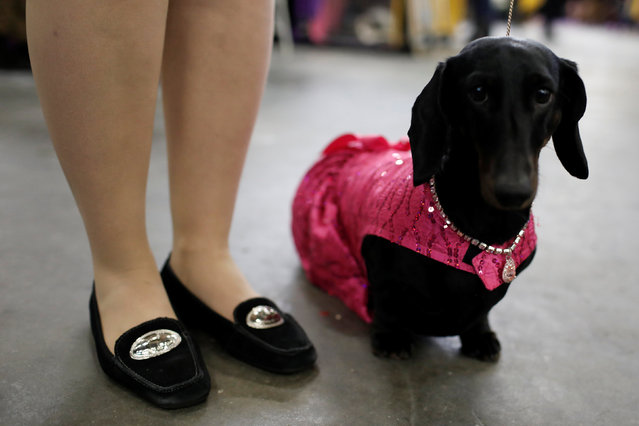 Diamond, a Standard Smooth Dachshund wears a coat and jewels before competition at the 141st Westminster Kennel Club Dog Show in New York City, U.S., February 13, 2017. (Photo by Mike Segar/Reuters)
