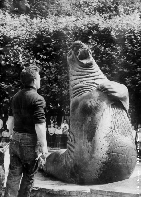 1964: Tristan the sea elephant (elephant seal) being fed in the Wilhelma Zoo in Stuttgart