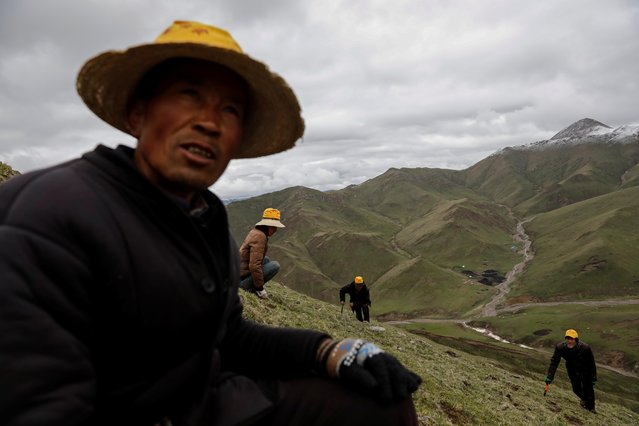 Cordyceps picker Xing Hairen, 51, looks on as others scan the ground to find Ophiocordyceps sinensis, a fungus believed to possess aphrodisiac and medicinal powers, on a mountain in the Amne Machin range in China's western Qinghai province, June 8, 2019. Demand for the highly prized cordyceps has increased sharply in the last decade as an emerging Chinese middle class seeks it to cure everything from kidney disorders to impotence. (Photo by Aly Song/Reuters)