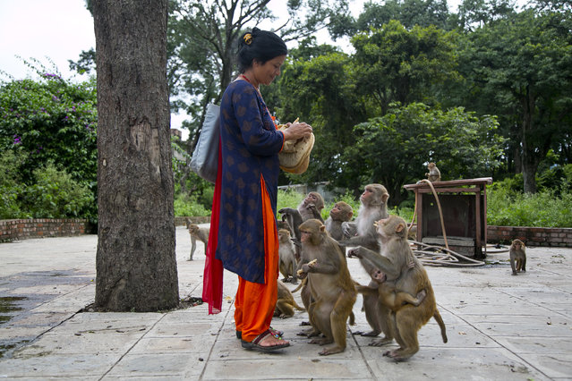 In this July 8, 2019, photo, Saraswati Dangol feeds monkeys in the forest near Pashupatinath temple in Kathmandu, Nepal. For the past four years, Dangol has been bringing the bread every day to feed the monkeys. As soon as they see her with her white sack, they gather around her, some patiently waiting for their turn while others less patiently snatching the bread from her hands. (Photo by Niranjan Shrestha/AP Photo)