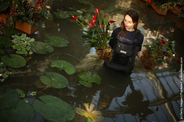 Kirsty Watson carries anthuriums in a lily pond at the Tropical Extravaganza Festival 2012 in the Princess of Wales Conservatory, Royal Botanic Gardens, Kew
