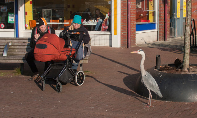 They've become well accustomed to urban life in the Dutch capital. (Photo by by Julie Hrudova/The Guardian)