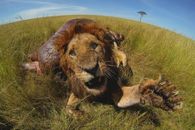 A lion swipes violently at the camera in Maasai Mara, Kenya. (Photo by Robyn Preston/Barcroft Media)