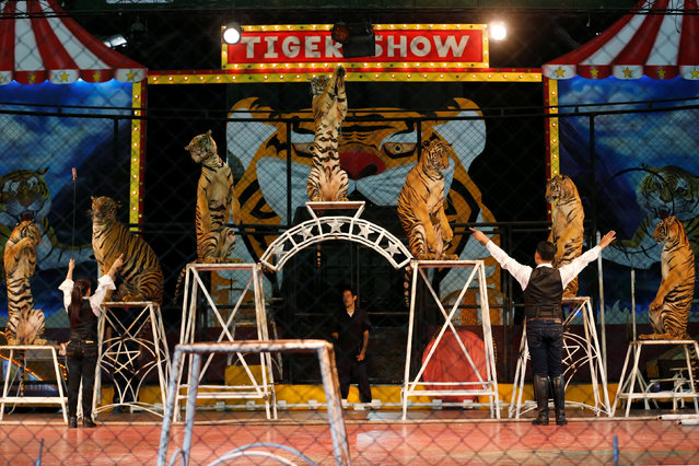 Tigers are seen in a cage during a performance for tourists at the Sriracha Tiger Zoo, in Chonburi province, Thailand, June 7, 2016. (Photo by Chaiwat Subprasom/Reuters)