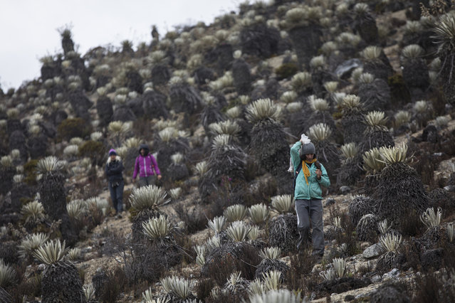 In this February 19, 2019 photo, scientists hike during a mission to study how temperatures and plant life are changing in the Andean ecosystem known as the paramos – a mist-covered mountain grassland that lies between the top of the treeline and the bottom of the Humboldt glacier, in Merida, Venezuela. The team of scientists in Venezuela is trying to weather the political and economic crisis engulfing their country to record what happens as Venezuela's last glacier vanishes. (Photo by Rodrigo Abd/AP Photo)