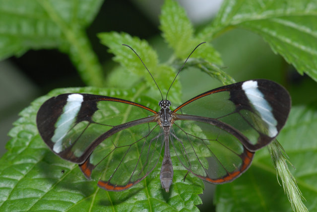 The Glasswinged Butterfly – Greta Oto