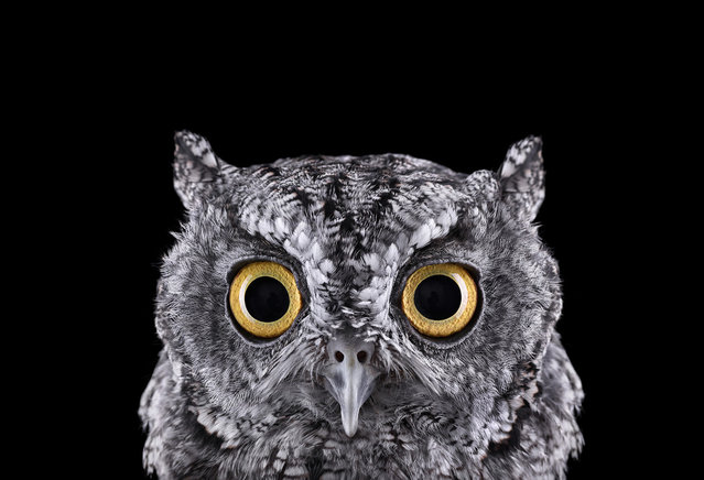 Western screech owl. (Photo by Brad Wilson)