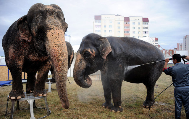 A caretaker washes down elephants at the mobile Diva circus in the town of Molodechno, some 70 kilometers northwest of Minsk on September 3, 2015. (Photo by Sergei Gapon/AFP Photo)