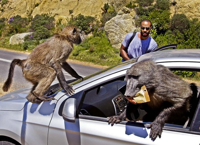 Tourist Alexandre Casias, of Montreal, Canada, has his car raided by Baboons, at Millers Point on the outskirts of Cape Town, South Africa October 24, 2012. (Photo by Schalk van Zuydam/Associated Press)
