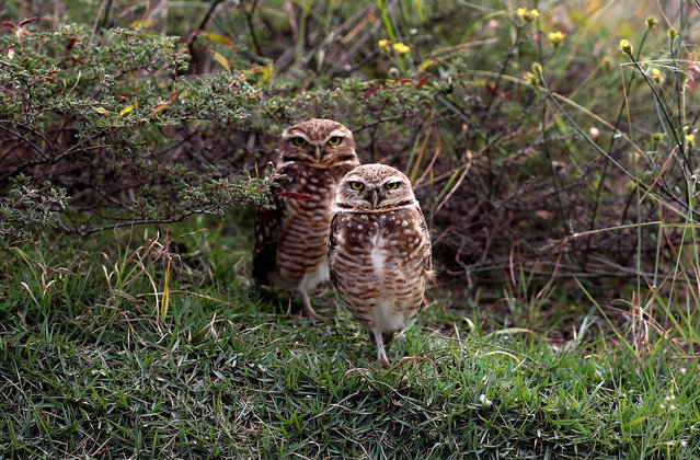 Burrowing owls at the Olympic Golf Course on the sixth day of the Rio Olympic Games, Brazil on August 18, 2016. (Photo by David Davies/PA Wire)