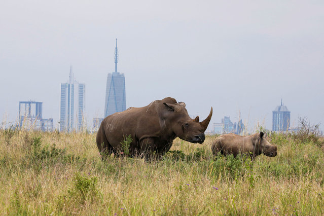 A southern white rhino and her calf are seen inside the Nairobi National Park with the Nairobi skyline in the background, in Kenya, June 15, 2020. (Photo by Baz Ratner/Reuters)