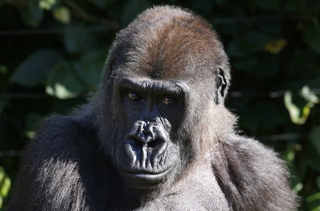 A Western Lowland Gorilla sits in its enclosure at Sydney's Taronga Zoo October 31, 2014. (Photo by David Gray/Reuters)