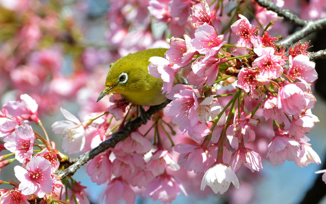 Bird is seen between cherry blossoms in Tokyo, Japan, on March 21, 2013. (Photo by Yoshikazu Tsuno/AFP Photo)