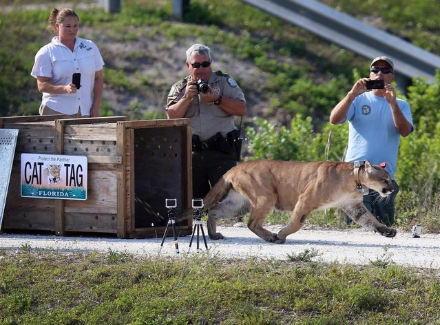 A 2-year-old Florida panther is released into the wild by the Florida Fish and Wildlife Conservation Commission (FWC) on April 3, 2013 in West Palm Beach, Florida.  The panther and its sister had been raised at the White Oak Conservation Center since they were 5 months old. The FWC rescued the two panthers as kittens in September 2011 in northern Collier County after their mother was found dead. The panther is healthy and has grown to a size that should prepare him for life in the wild.  (Photo by Joe Raedle)