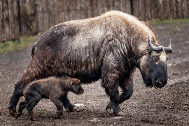 A 3-week-old takin runs next to its mother at the Wroclaw Zoo in Poland. The Mishmi takin is an endangered goat-antelope native to India, Myanmar and China. (Photo by Maciej Kulczynski/EPA)