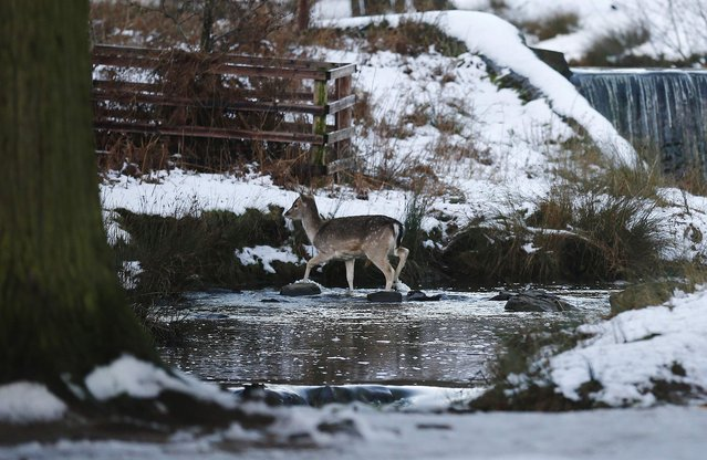 A deer crosses a stream after a snowfall at Bradgate Park in Newtown Linford, central England December 28, 2014. (Photo by Darren Staples/Reuters)