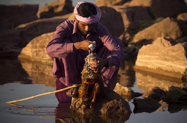 Pakistani monkey handler Naseer bathes his monkey in a stream in Islamabad, where temperature reached 42 degrees Celsius (106 Fahrenheit) on Friday, May 31, 2013 in Pakistan. Pakistanis are facing heat wave conditions with temperatures reaching 46 degrees Celsius (115 Fahrenheit) in some cities. (Photo by B. K. Bangash/AP Photo)