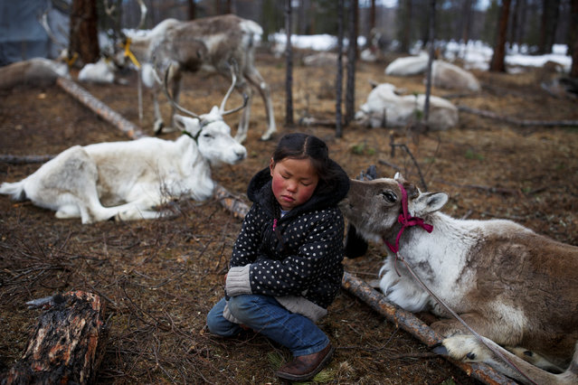 Tsetse, six-year-old daughter of Dukha herder Erdenebat Chuluu, sits among her family's reindeer in a forest near the village of Tsagaannuur, Khovsgol aimag, Mongolia, April 21, 2018. (Photo by Thomas Peter/Reuters)