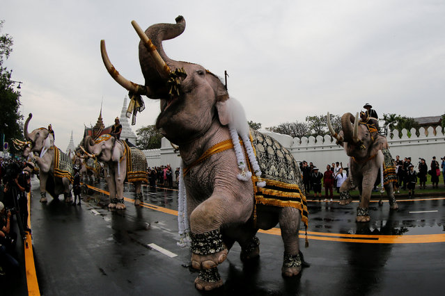 Ayuthaya elephants and mahouts pay their respects at the Royal Palace where Thailand's late king Bhumibol Adulyadej is lying in state in Bangkok, Thailand November 8, 2016. (Photo by Jorge Silva/Reuters)