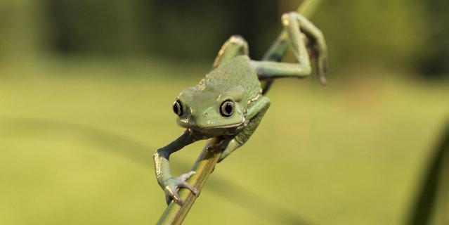 Waxy monkey leaf frog, phyllomedusa sauvagii in Bitovany, Czech Republic on July 12, 2014. (Photo by Ondrej Zaruba/CTK/ABACAPress)