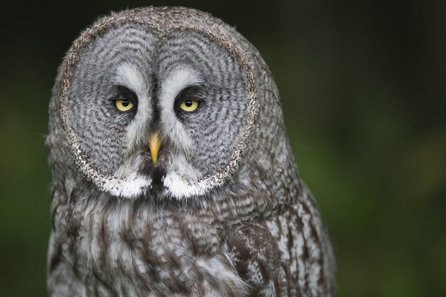 A great gray owl rests in the Rambouillet forest, on July 31, 2013, some 50 kms outside of Paris. (Photo by Joel Saget/AFP Photo)