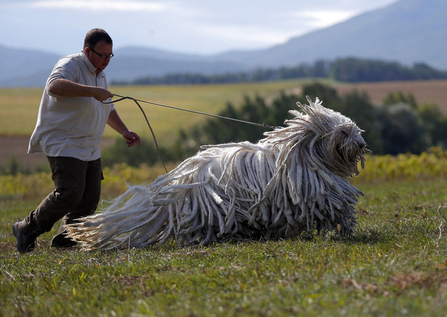 Kennel owner Gabor Korozs walks one of his Komondors, a traditional Hungarian guard dog, in Bodony, 130 km northeast of Budapest September 3, 2013. The kennel has won several awards but makes hardly any money as dogs without pedigrees have displaced pure breeds from the market in recent years. (Photo by aszlo Balogh/Reuters)