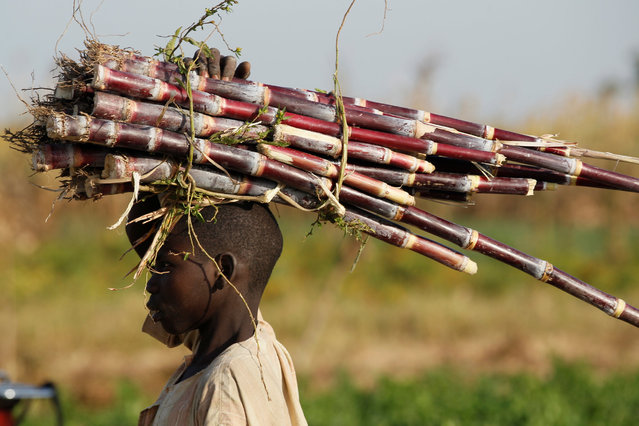 A boy carries sugar cane through a farm on the outskirt of Zaria in Nigeria's northern state of Kaduna November 15, 2016. (Photo by Akintunde Akinleye/Reuters)