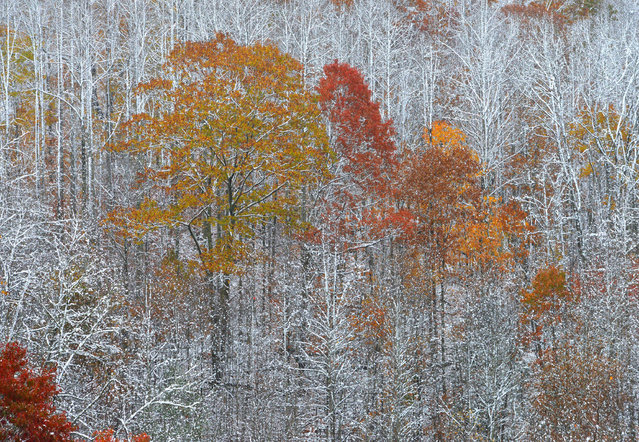 Snow clings to the bare branches of some of the trees as others still with leaves are a splash of color on the hillside outside St. Paul, Virginia on Saturday, November 1, 2014. Some areas received several inches and others only a dusting during the morning snowfall Saturday. (Photo by Earl Neikirk/AP Photo/Bristol Herald Courier)
