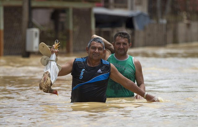 A resident carries a chicken in a neighbourhood flooded by the Purus river, which continues to rise from days of heavy rainfall in the region, in Boca do Acre, Amazonas state March 14, 2015. (Photo by Bruno Kelly/Reuters)