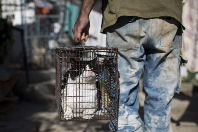 A volunteer of the SPCA (Society for Prevention of Cruelty to Animals) Jerusalem carries a female stray cat in a trapping cage to a spay surgery at the SPCA clinic in Jerusalem, Israel, 06 January 2016. (Photo by Abir Sultan/EPA)