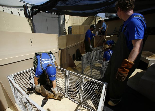 Animal Care Specialists help feed malnourished sea lions at Sea World in San Diego, California March 17, 2015. (Photo by Mike Blake/Reuters)
