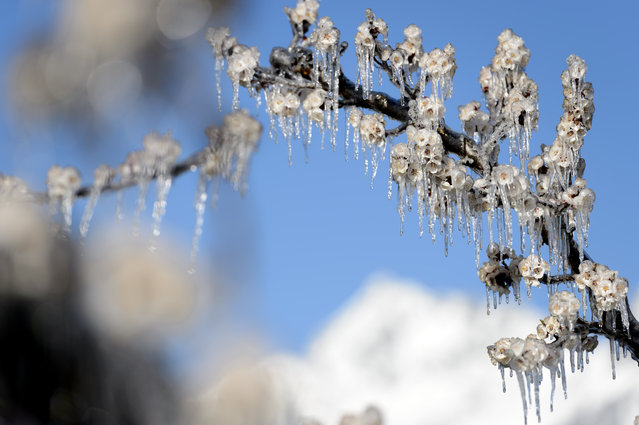 Apricot trees in blossom are covered with ice in the Swiss Alps  in Fully, Canton of Valais, Switzerland, Monday, April 6, 2015. Farmers spray water on the trees to protect the plants from possible freeze damage. (Photo by Laurent Gillieron/AP Photo/Keystone)